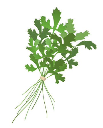 home grown: an illustration of a bunch of cilantro isolated on a white background Illustration