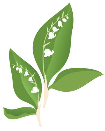 an illustration of lily of the valley flowers and foliage isolated on a white background Vector