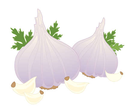 an illustration of fresh garlic bulbs corriander leaves and cloves isolated on a white background Vector