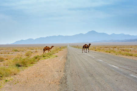 freely: the wild camels who are freely walking on stony in the desert