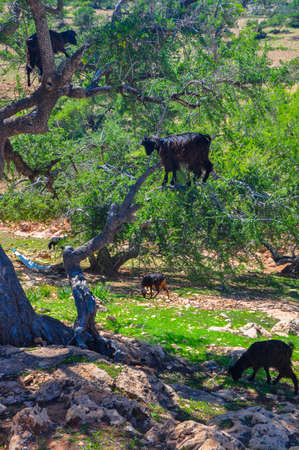 herd of sheep which is grazed on trees in mountains of the Moroccan atlas