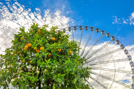 Tangerine tree with fruits against the background of huge a big wheel, attractions