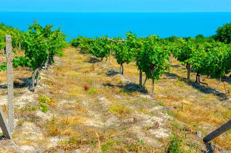 ブドウ畑ブルガリアの黒海の海岸の丘の斜面に成長背景海を伸ばす
