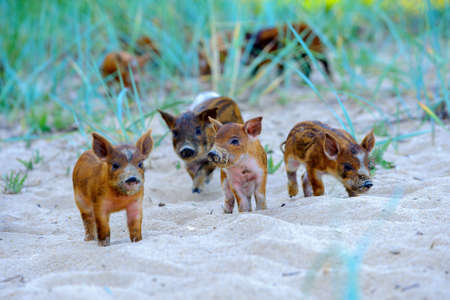 pack of little wild pigs studies the world around