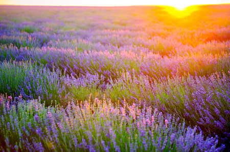 fields of the blossoming lavender on a sunset, bright saturated flowers in beams setting the sun Imagens