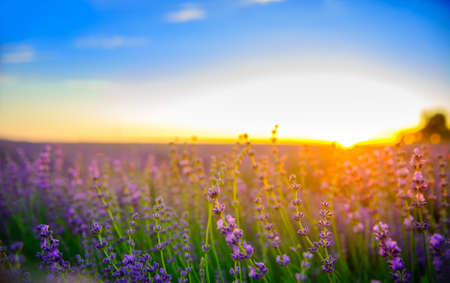 fields of the blossoming lavender on a sunset, bright saturated flowers in beams setting the sun Stock Photo
