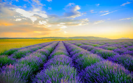 field of the blossoming lavender on a sunset, on the horizon the field is bordered by hills, bright saturated flowers