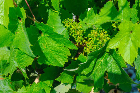 vineyards of Europe, cluster of the young green grapes surrounded with fresh leaves