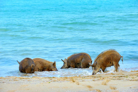 large wild boar searching for food on the beach Stock Photo