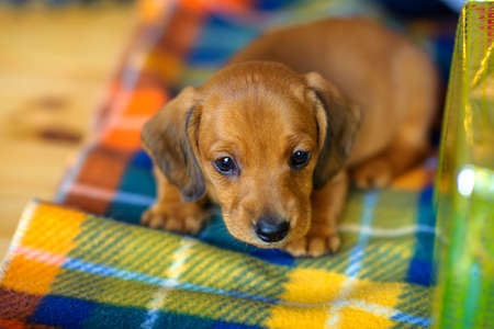 beautiful puppy dachshunds sitting on the rug near the gift box