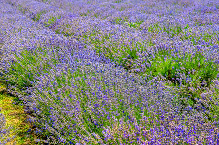 a large field of flowering lavender, a farm for growing herbs Imagens