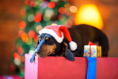 a small dog in a Santa Claus hat sleeps lying on a large gift box and looks out the window, next is a small gift