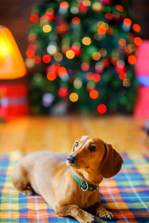 year of the dog, a beautiful little dog lies on a blanket on the background of a festive Christmas tree