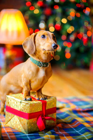 year of the dog, a beautiful little dog stands with paws on a gift box on the background of a festive Christmas tree