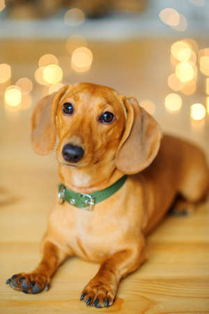 year of the dog, a beautiful little dog of the Dachshund, sits on the floor near the festive garlands