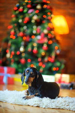 A little dog lies on the carpet on the background of a festive Christmas tree and gifts  Standard-Bild