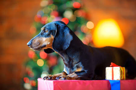 a small dog of the Dachshund breed sits on a large gift box and looks out the window, next is a small gift