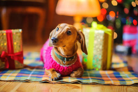 year of the dog, a beautiful little dog of the Dachshund breed dressed in a warm jacket, lies on a blanket next to the presents, on the background of a festive Christmas tree  Standard-Bild