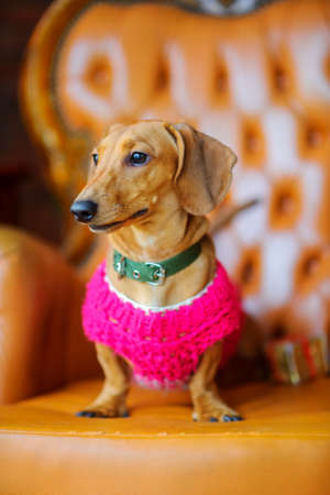 year of the dog, a beautiful little dog of the Dachshund breed dressed in a warm jacket, sits in a chair  Standard-Bild