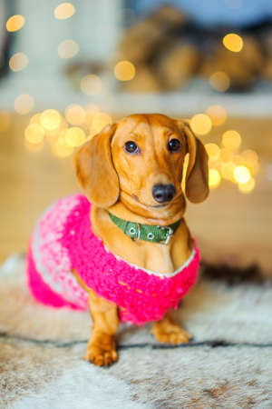 year of the dog, a beautiful little dog of the Dachshund breed, sits on the floor near the festive garlands