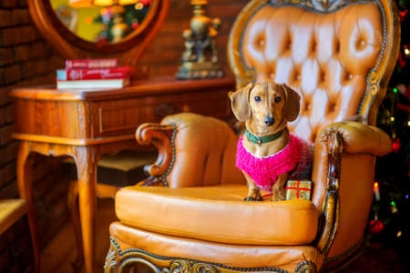 year of the dog, a beautiful little dog of the Dachshund breed dressed in a warm jacket, sits in an armchair next to a gift