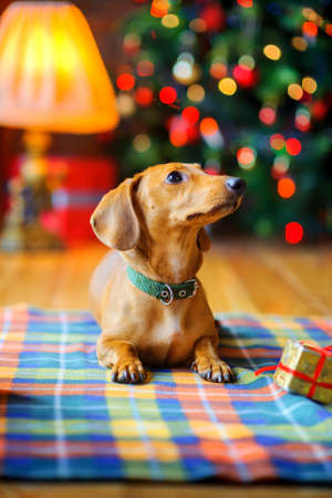 year of the dog, a beautiful small dog of the Dachshund breed lies on a blanket next to a gift, on the background of a festive Christmas tree