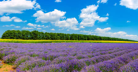 Lavender blooming field on a sunny day against the background of growing sunflowers, rich colors of Provence. France 写真素材