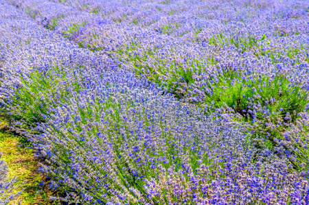 Lavender blooming field on a sunny day, rich colors of Provence. France
