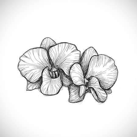 orchid: orchid sketch drawing isolated on white background, vector illustration