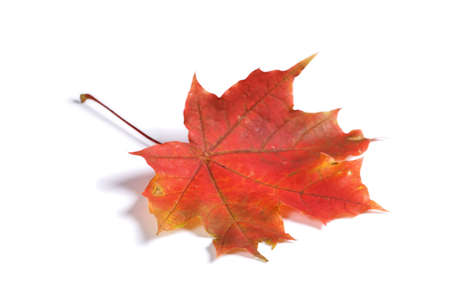 Closeup of maple autumn leaf on white background with light shadow Stock Photo