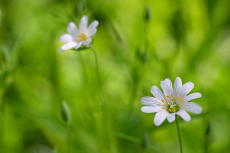 White flowers on green grass background. Focus on nearest flower Stock Photo