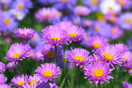 aster flowers: Glade of beautiful flowers Stock Photo
