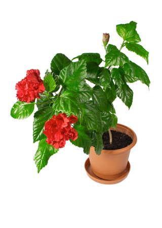 Chinese hibiscus - Hibiscus rosa-sinensis