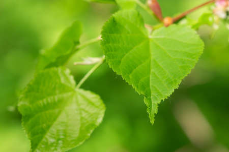 basswood: lime tree green leaves