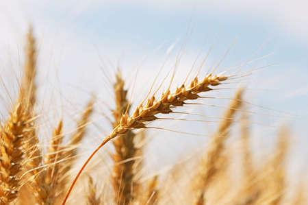 Closeup of corn in the ear (wheat) - horizontal photo