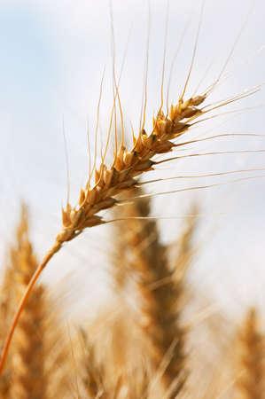 Closeup of corn in the ear (wheat) photo