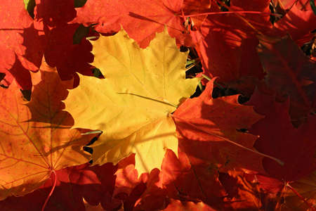 Colored maple autumn leaves background