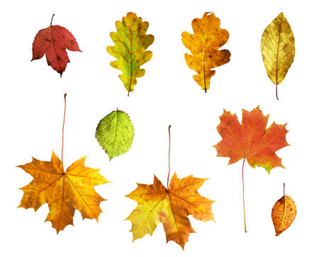 guelder: Full-size composite photo of various autumn leaves: maple, oak, viburnum (guelder rose), honeysuckle, apple and alder-tree. Isolated on white background