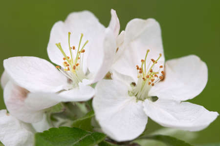 Closeup of apple blossoms photo