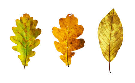Isolated autumn leaves on white background Stock Photo - 4781136