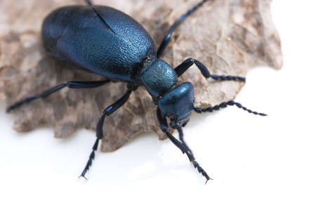 Blue beetle photo
