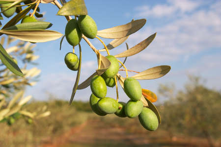 Olive rametto
