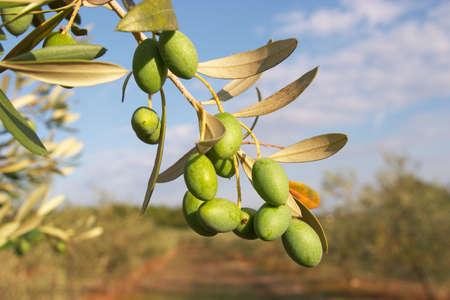 olive farm: Olive sprig