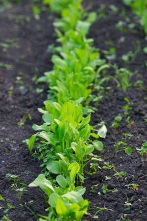 agronomical: Garden green sorrel