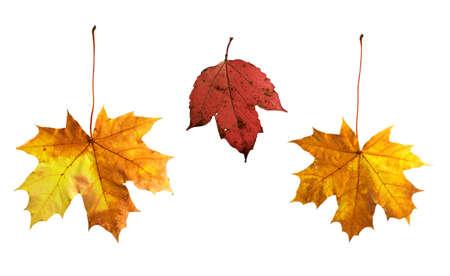 Isolated autumn leaves on white background photo