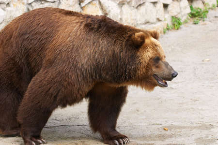 Brown bear in zoo Stock Photo