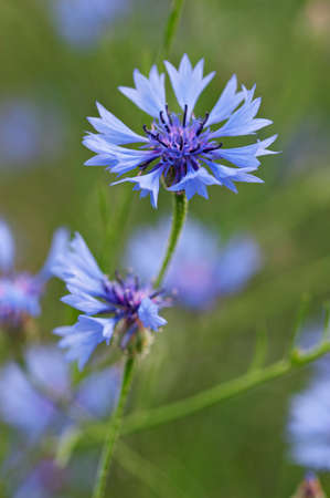 Closeup of cornflower