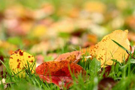 Apple autumn leaves background. Shallow focus depth on front leaves photo