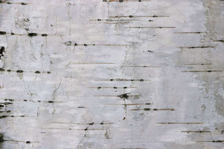 Closeup of birch bark background