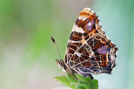 Butterfly on green grass background (Araschnia levana)